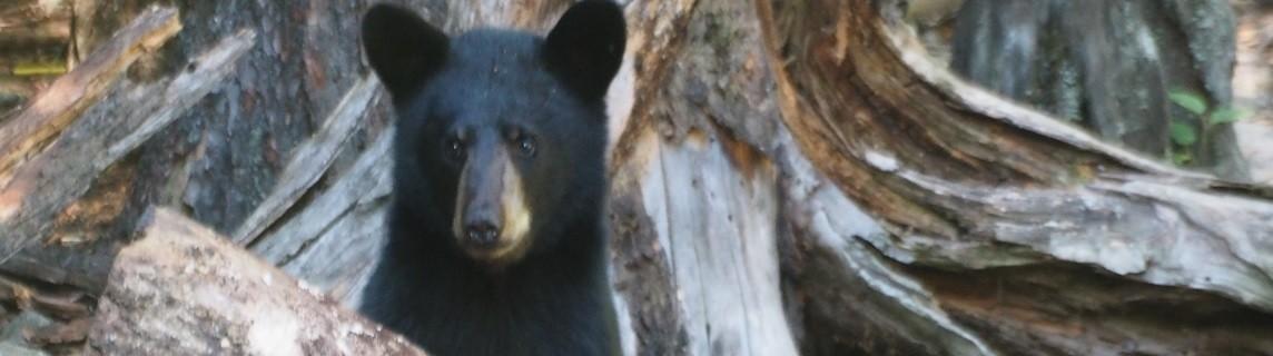 Observation de l'ours noir Charlevoix